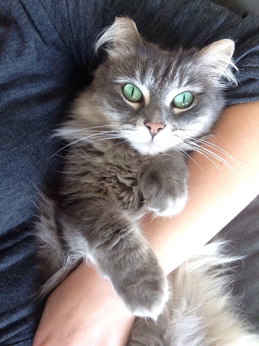 Kitty with turquoise eyes is a desperate cuddlebug