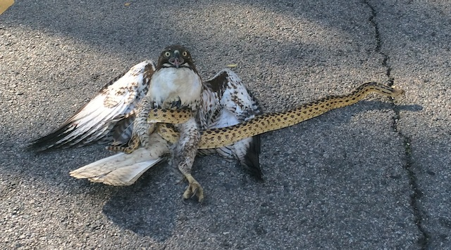 Hawk and a snake got tangled, dropped from the sky.