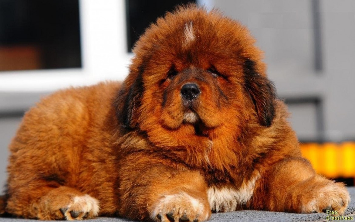 This is a Tibetan Mastiff puppy.