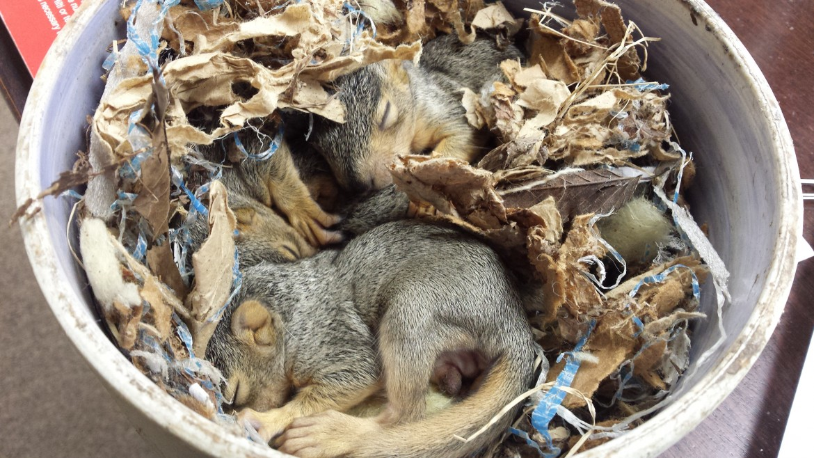 One of my plumbers found these abandoned baby squirrels in his camper.