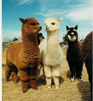 Baby Llamas on my Farm!!