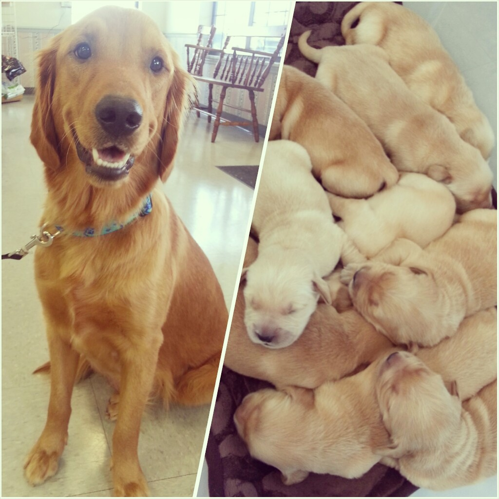 I also saw a tub of (golden) puppies come into the vet. Although it was last week. Bonus: proud mama!