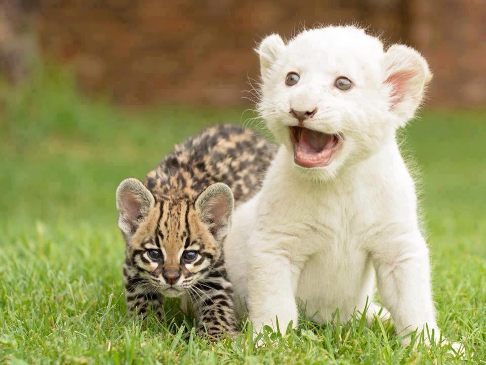 Baby lion and ocelot.
