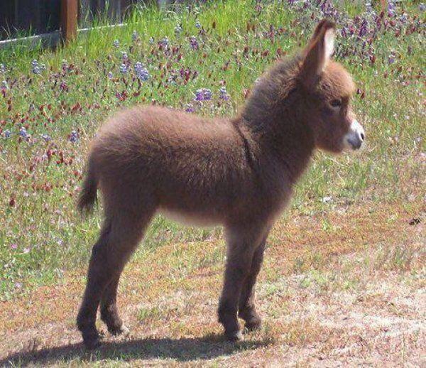 Fluffy baby donkey