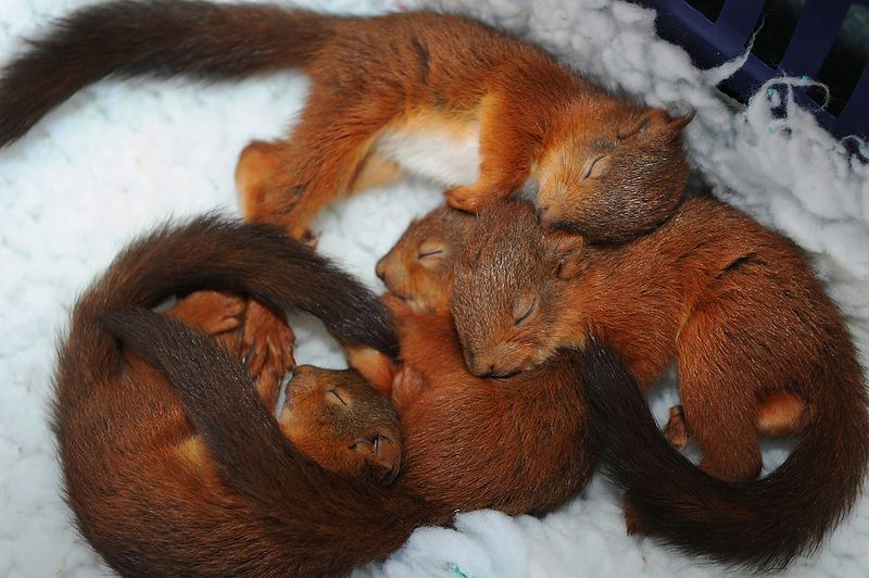 Sleeping infant squirrels