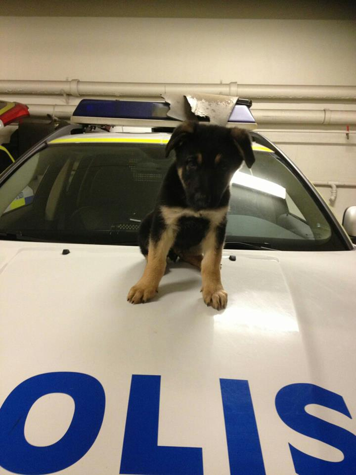 Here's Zapp, he's latest addition to the Stockholm Police force. 9 weeks old!